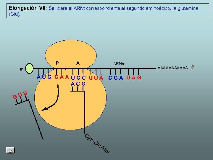 Elongación VII: Se libera el ARNt correspondiente al segundo aminoácido, la glutamina (Glu). P