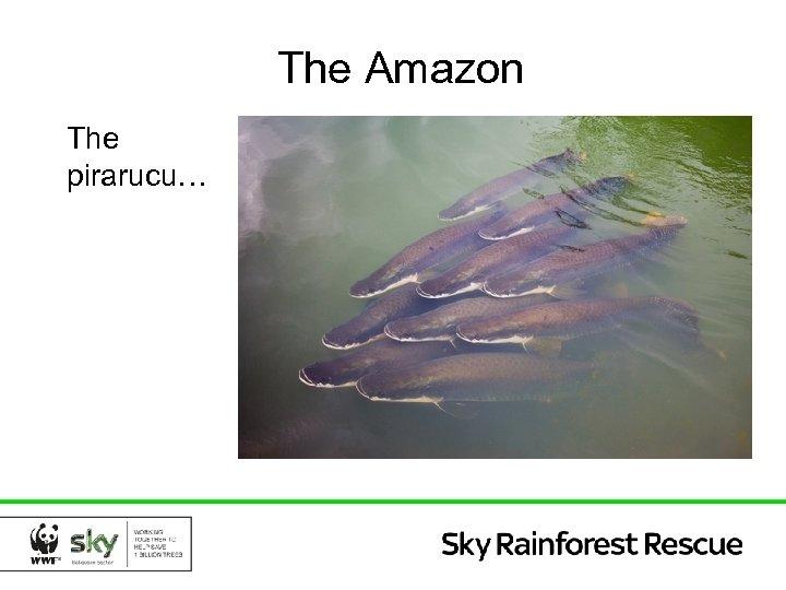 The Amazon The pirarucu…