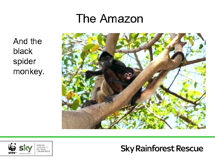 The Amazon And the black spider monkey.
