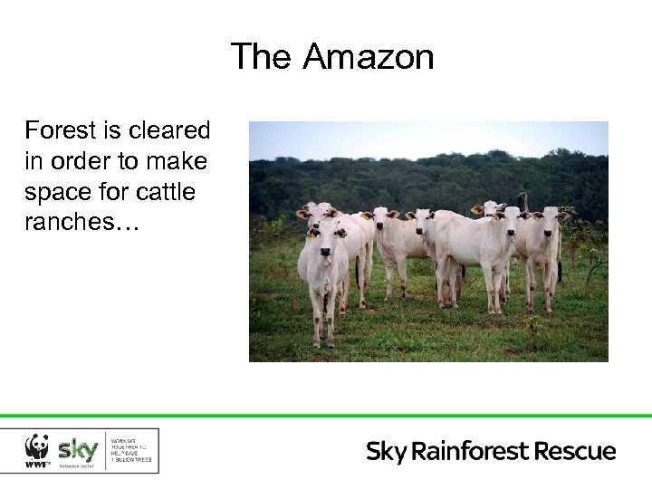 The Amazon Forest is cleared in order to make space for cattle ranches…