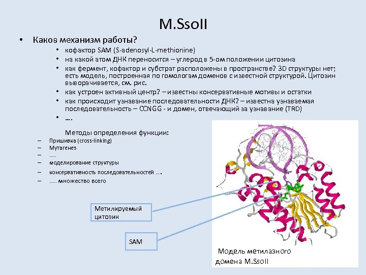 • Каков механизм работы? M. Sso. II • кофактор SAM (S-adenosyl-L-methionine) • на