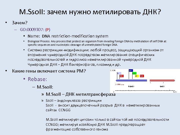 M. Sso. II: зачем нужно метилировать ДНК? • Зачем? – GO: 0009307: (P) •