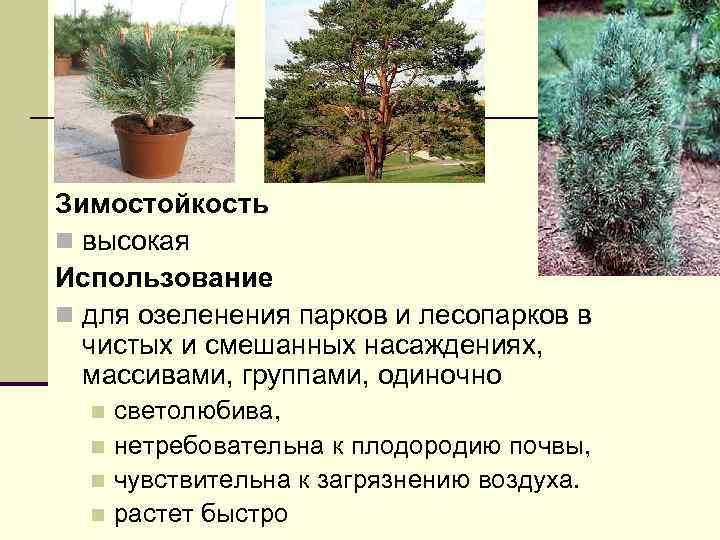 Зимостойкость n высокая Использование n для озеленения парков и лесопарков в чистых и смешанных