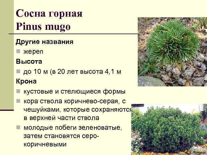 Сосна горная Pinus mugo Другие названия n жереп Высота n до 10 м (в