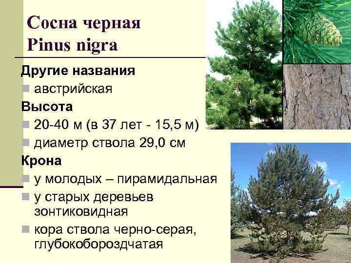 Сосна черная Рinus nigra Другие названия n австрийская Высота n 20 -40 м (в