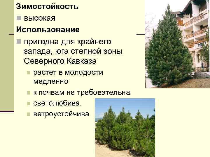 Зимостойкость n высокая Использование n пригодна для крайнего запада, юга степной зоны Северного Кавказа