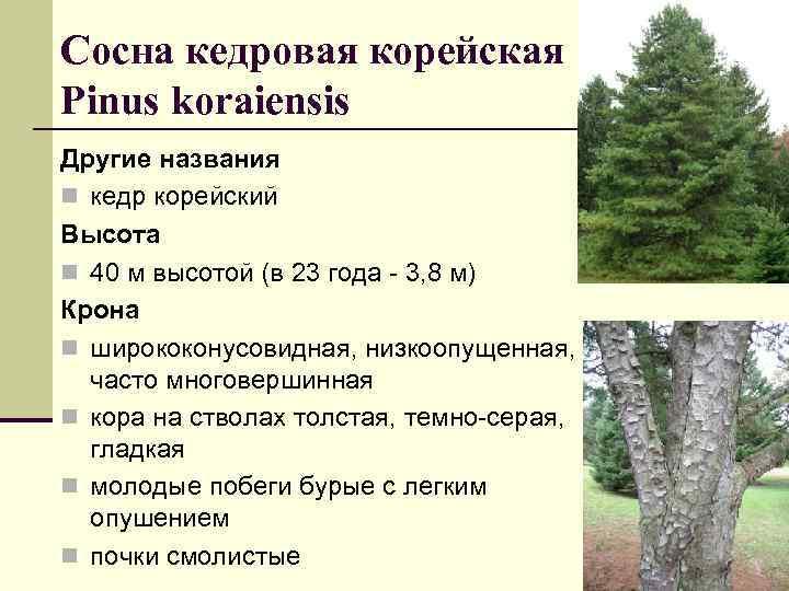 Сосна кедровая корейская Рinus koraiensis Другие названия n кедр корейский Высота n 40 м