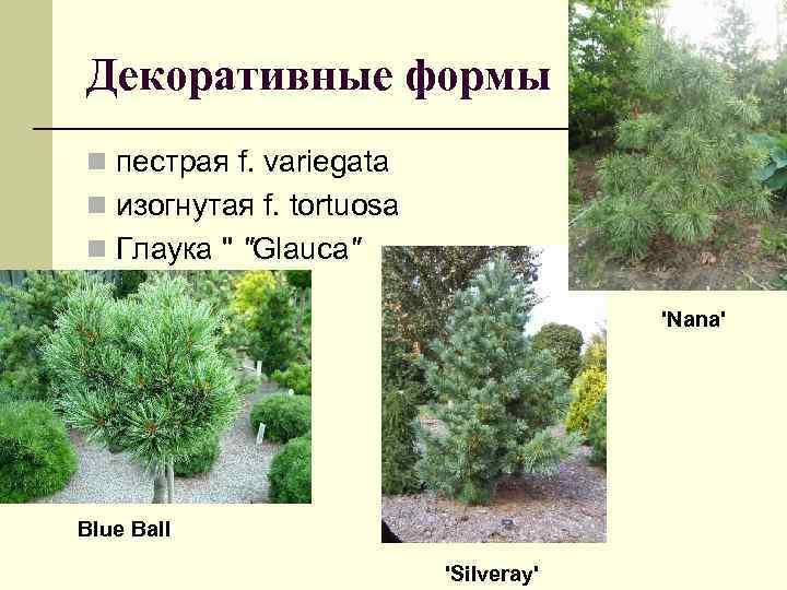 Декоративные формы n пестрая f. variegata n изогнутая f. tortuosa n Глаука