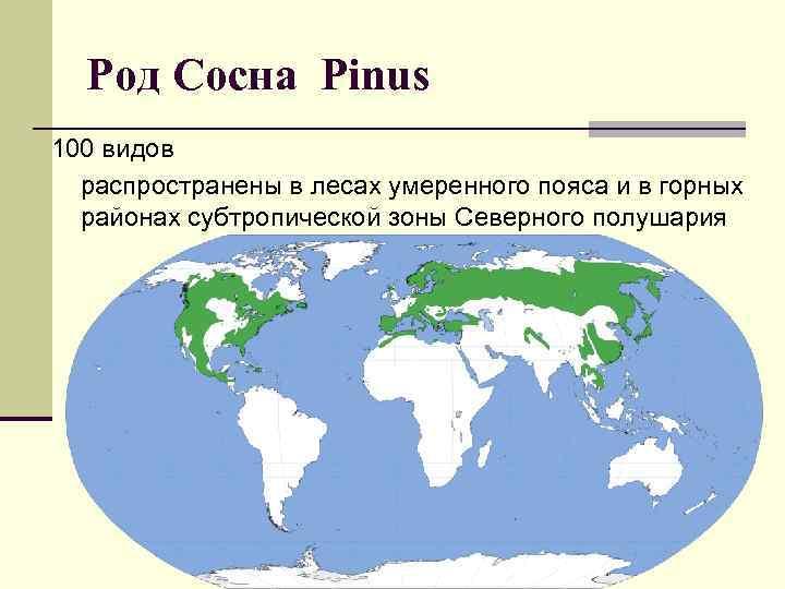 Род Сосна Pinus 100 видов распространены в лесах умеренного пояса и в горных районах