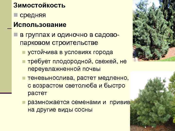 Зимостойкость n средняя Использование n в группах и одиночно в садовопарковом строительстве устойчива в
