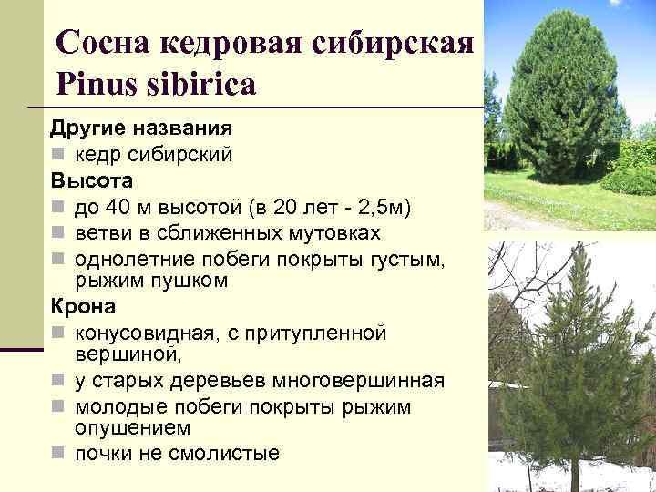Сосна кедровая сибирская Рinus sibirica Другие названия n кедр сибирский Высота n до 40