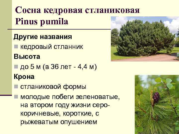 Сосна кедровая стланиковая Рinus pumila Другие названия n кедровый стланник Высота n до 5