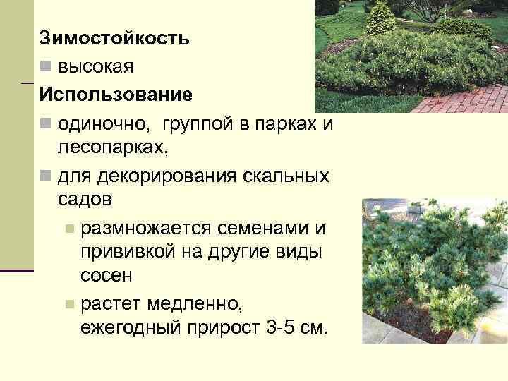 Зимостойкость n высокая Использование n одиночно, группой в парках и лесопарках, n для декорирования