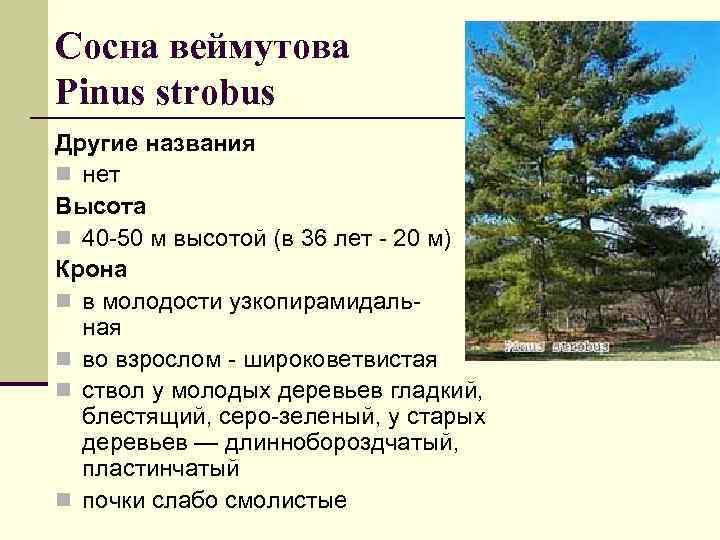 Сосна веймутова Pinus strobus Другие названия n нет Высота n 40 -50 м высотой