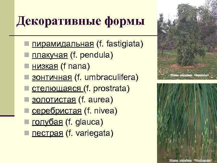 Декоративные формы n n n n n пирамидальная (f. fastigiata) плакучая (f. pendula) низкая