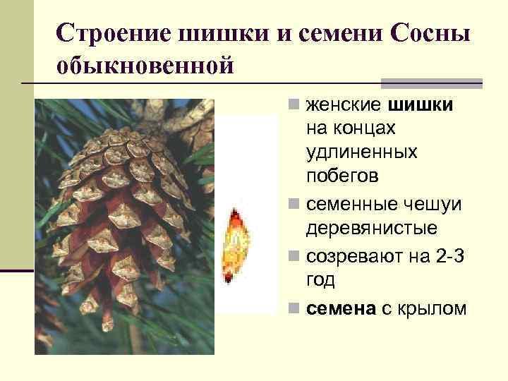 Строение шишки и семени Сосны обыкновенной n женские шишки на концах удлиненных побегов n