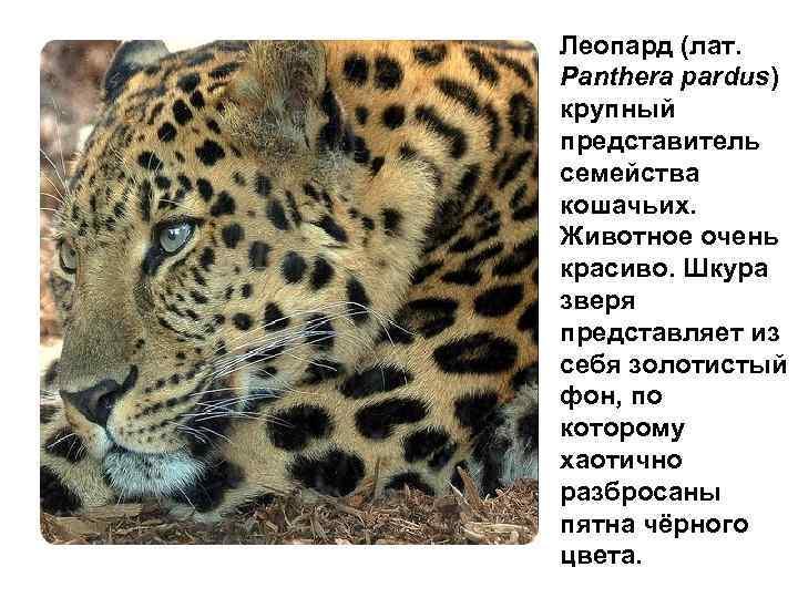 Леопард (лат. Panthera pardus) крупный представитель семейства кошачьих. Животное очень красиво. Шкура зверя представляет