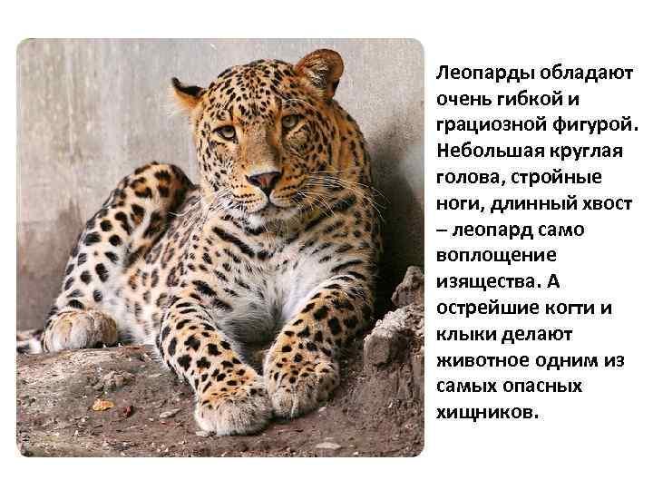 Леопарды обладают очень гибкой и грациозной фигурой. Небольшая круглая голова, стройные ноги, длинный хвост