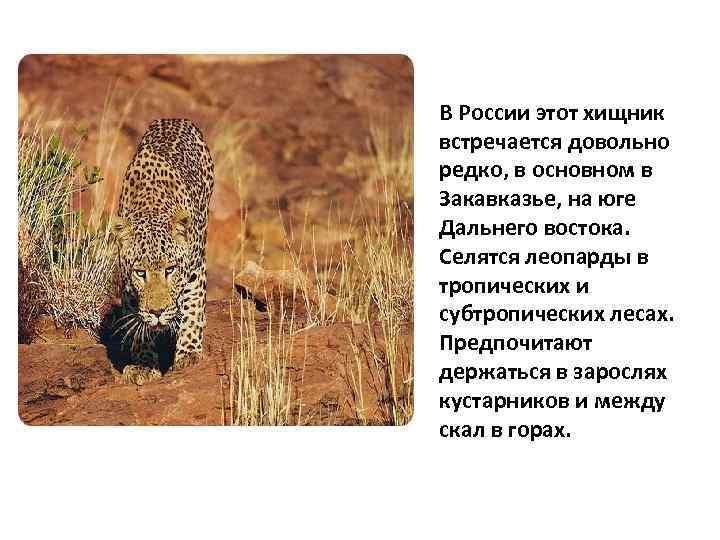 В России этот хищник встречается довольно редко, в основном в Закавказье, на юге Дальнего