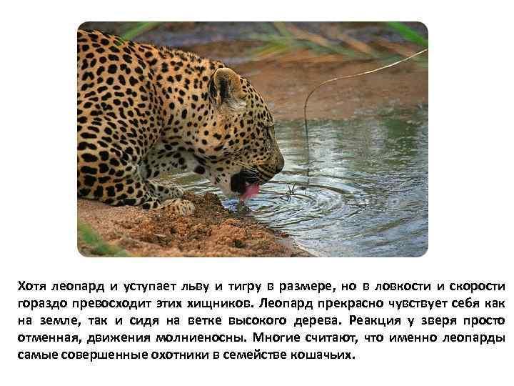 Хотя леопард и уступает льву и тигру в размере, но в ловкости и скорости