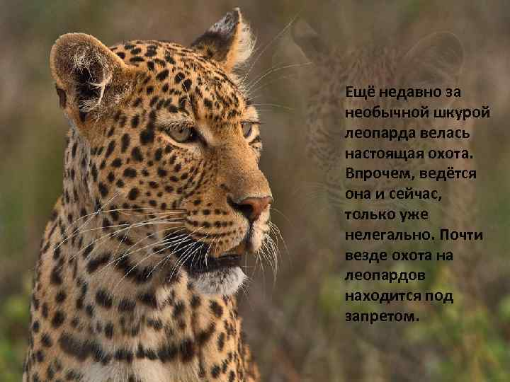 Ещё недавно за необычной шкурой леопарда велась настоящая охота. Впрочем, ведётся она и сейчас,