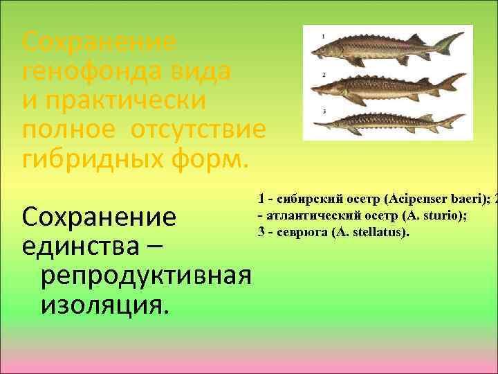 Сохранение генофонда вида и практически полное отсутствие гибридных форм. 1 - сибирский осетр (Acipenser