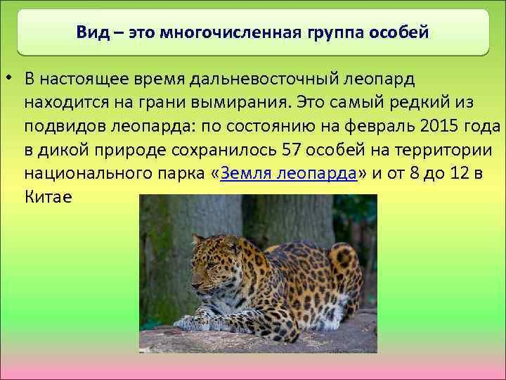 Вид – это многочисленная группа особей • В настоящее время дальневосточный леопард находится на