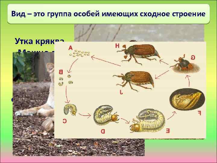 Вид – это группа особей имеющих сходное строение Утка кряква Можно ли эти особи