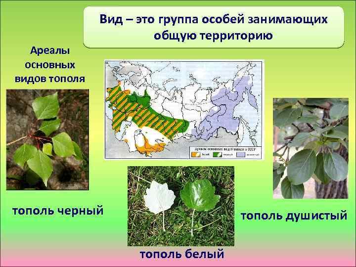 Ареалы основных видов тополя Вид – это группа особей занимающих общую территорию тополь черный