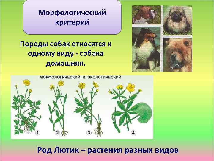 Морфологический критерий Породы собак относятся к одному виду - собака домашняя. Род Лютик –