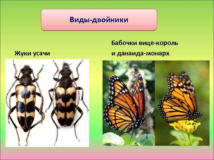 Виды-двойники Бабочки вице-король Жуки усачи и данаида-монарх