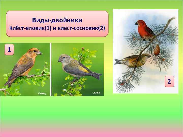 Виды-двойники Клёст-еловик(1) и клест-сосновик(2) 1 2