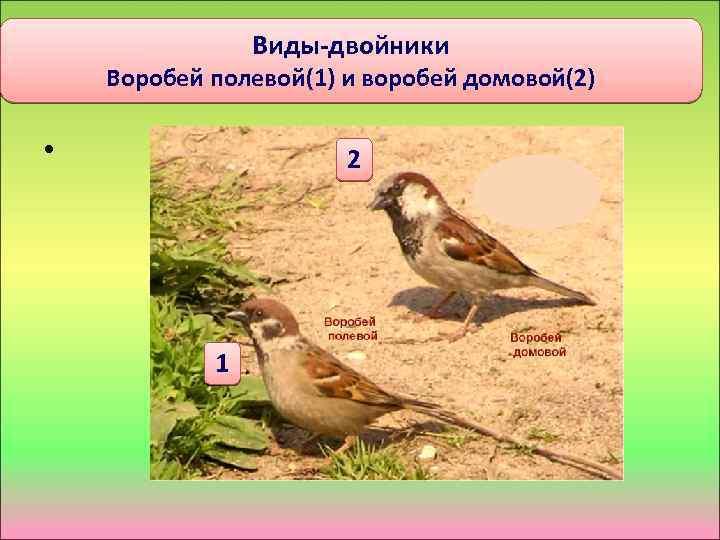 Виды-двойники Воробей полевой(1) и воробей домовой(2) • 2 1