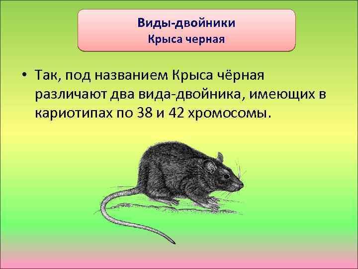 Виды-двойники Крыса черная • Так, под названием Крыса чёрная различают два вида-двойника, имеющих в