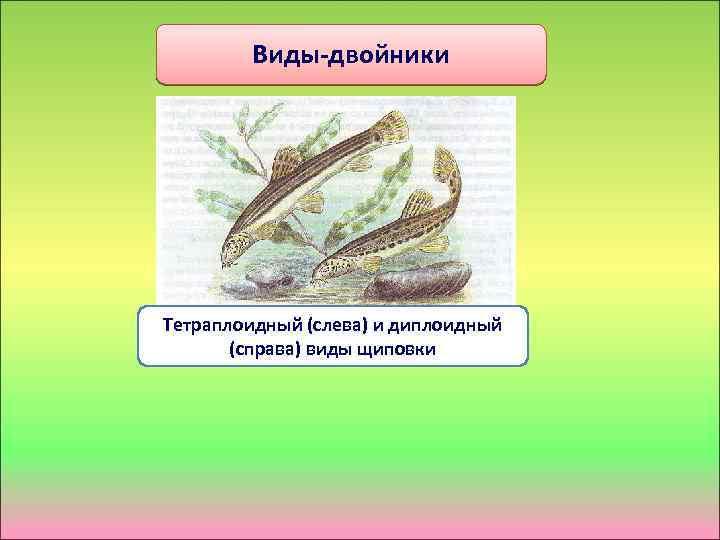 Виды-двойники Тетраплоидный (слева) и диплоидный (справа) виды щиповки