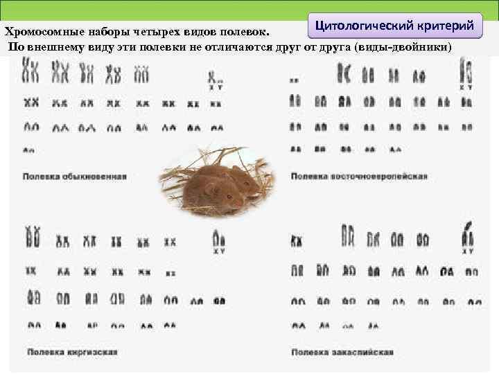 Цитологический критерий Хромосомные наборы четырех видов полевок. По внешнему виду эти полевки не отличаются