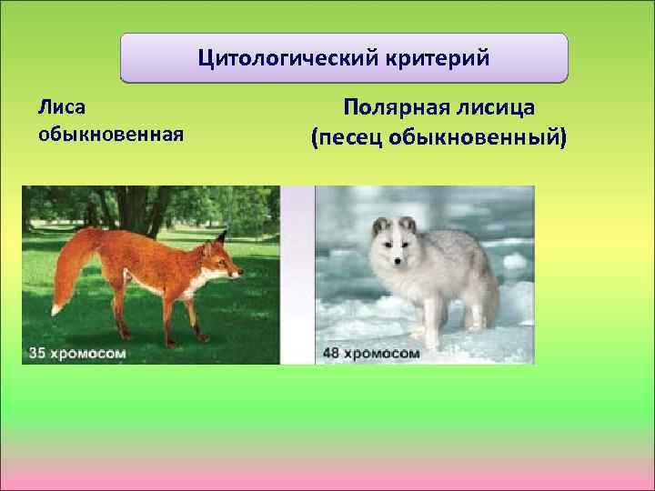 Цитологический критерий Лиса обыкновенная Полярная лисица (песец обыкновенный)