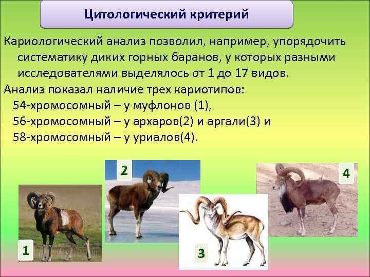 Цитологический критерий Кариологический анализ позволил, например, упорядочить систематику диких горных баранов, у которых разными