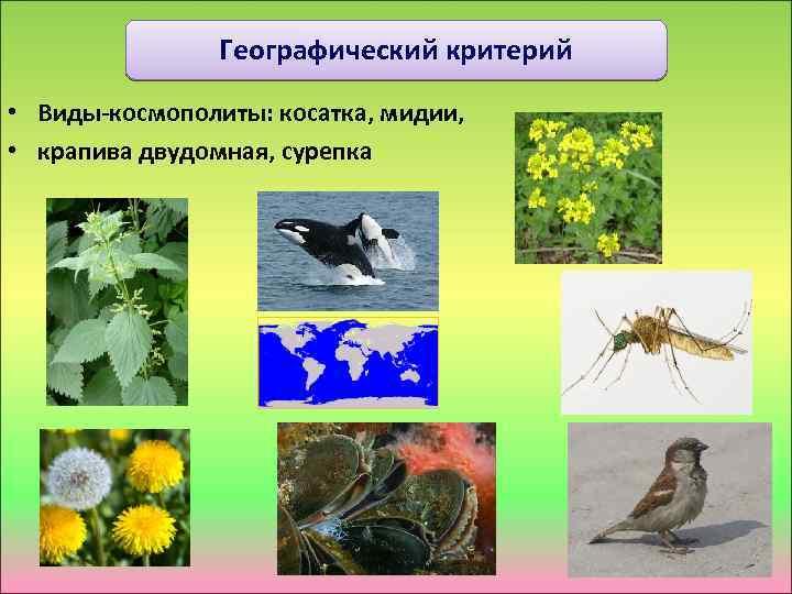 Географический критерий • Виды-космополиты: косатка, мидии, • крапива двудомная, сурепка