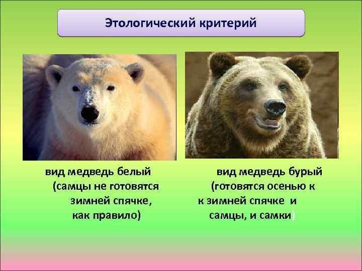 Этологический критерий вид медведь белый вид медведь бурый (самцы не готовятся (готовятся осенью к