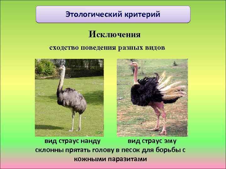 Этологический критерий Исключения сходство поведения разных видов вид страус нанду вид страус эму склонны