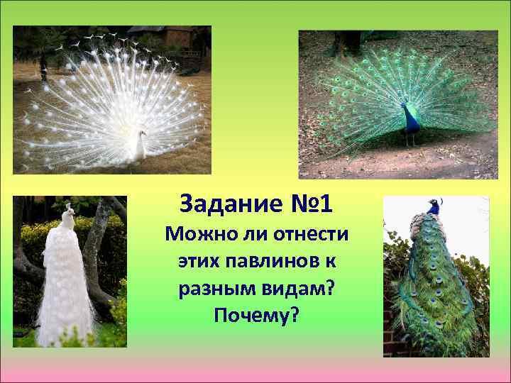 Задание № 1 Можно ли отнести этих павлинов к разным видам? Почему?