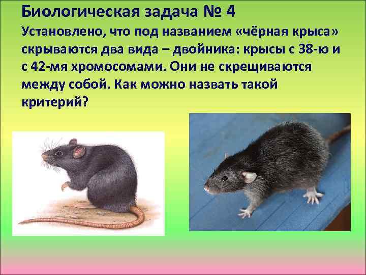 Биологическая задача № 4 Установлено, что под названием «чёрная крыса» скрываются два вида –