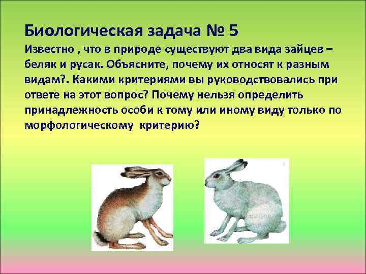 Биологическая задача № 5 Известно , что в природе существуют два вида зайцев –