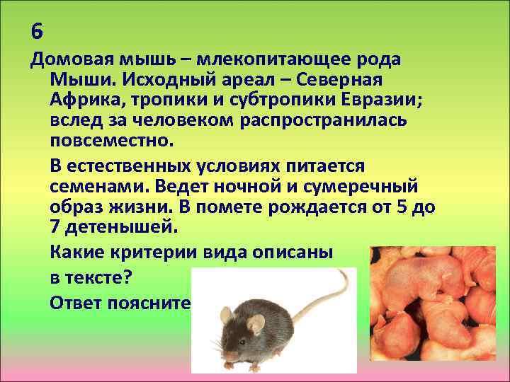6 Домовая мышь – млекопитающее рода Мыши. Исходный ареал – Северная Африка, тропики и