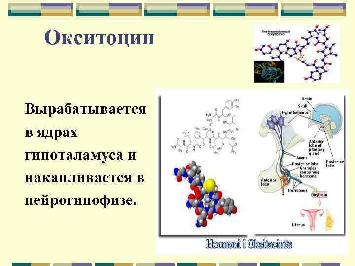 Окситоцин Вырабатывается в ядрах гипоталамуса и накапливается в нейрогипофизе.