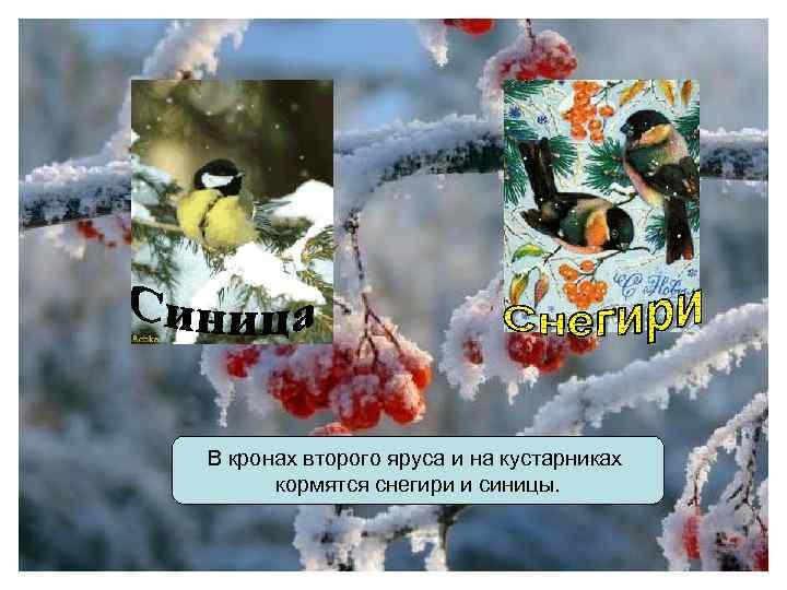 В кронах второго яруса и на кустарниках кормятся снегири и синицы.