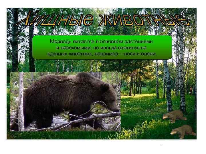 Медведь питается в основном растениями и насекомыми, но иногда охотится на крупных животных, например