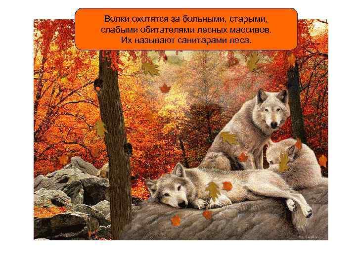 Волки охотятся за больными, старыми, слабыми обитателями лесных массивов. Их называют санитарами леса.