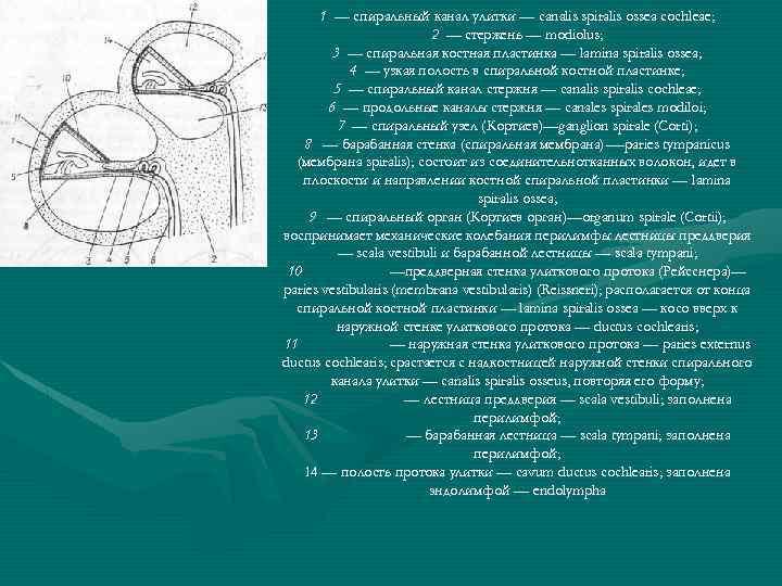 1 — спиральный канал улитки — canalis spiralis ossea cochleae; 2 — стержень —